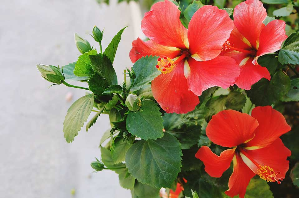 Benefits of Hibiscus in Diabetes, High Cholesterol & Skin Problems